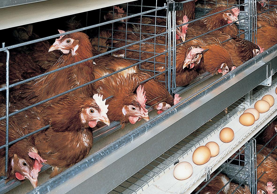 Содержание куриц несушек в домашних условиях 67
