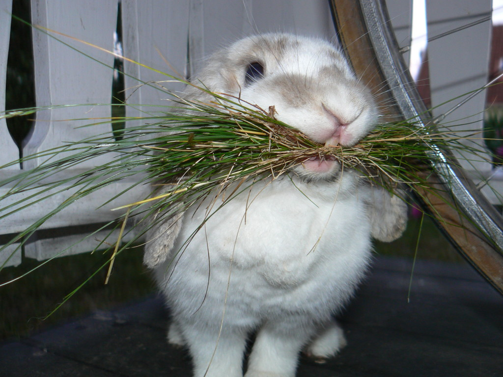 Трапеза кролика