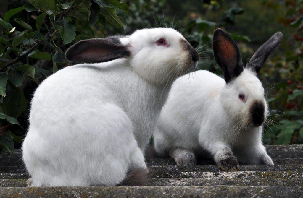 Крольчиха не дает сделать садку