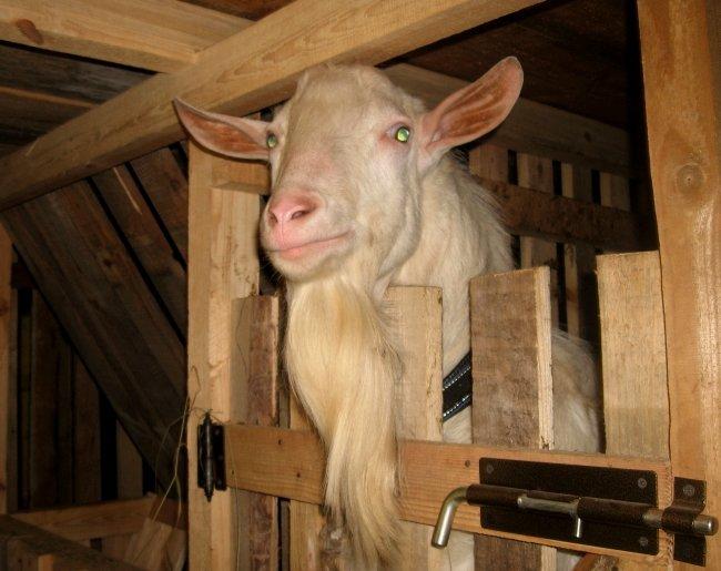 Коза в индивидуальном загоне перед убоем