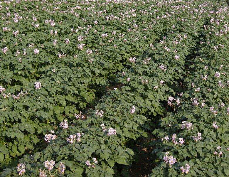 Цветение кустов «жуковского раннего»