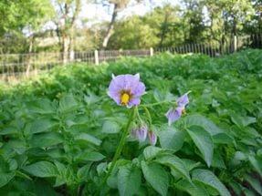 Фиолетовый цветок сорта «жуковский ранний»