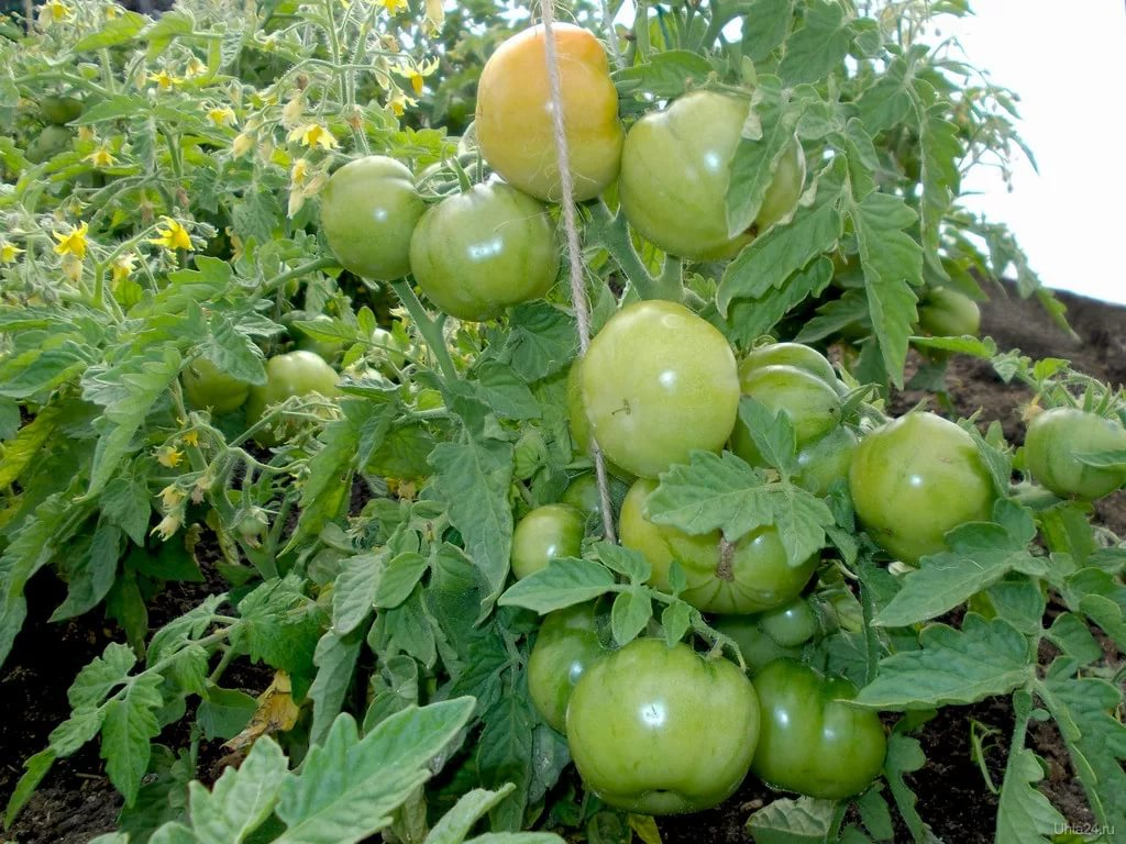 Созревание плодов «лабрадора» на кустах в теплице
