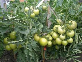 Кисти с плодами на кустах сорта «андромеда»