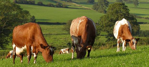 Красно-пёстрый скот на летнем пастбище