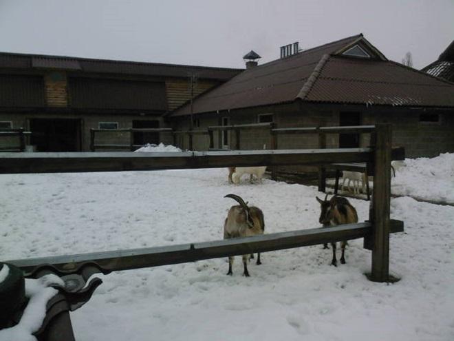 Зимний выгул для коз