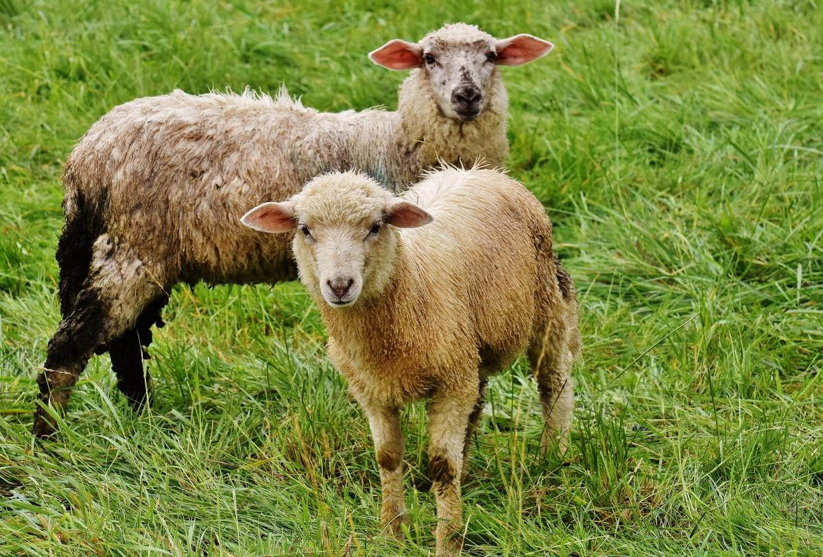 домашний скот на пастбище