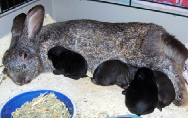 Подросшие крольчата