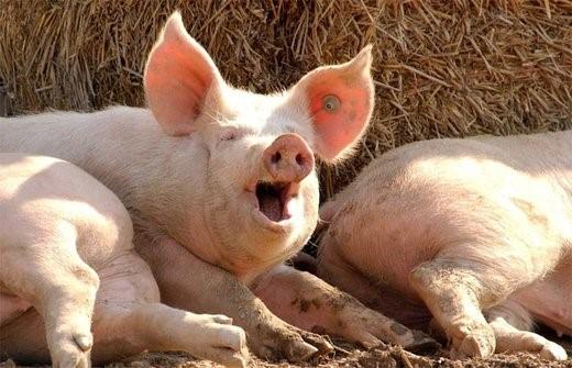 В период охоты свинья постоянно хрюкает