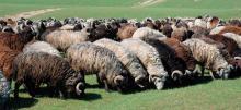 Выпас каракульских овец