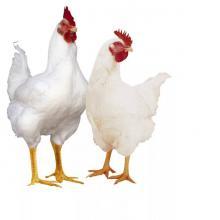 Петух и курица бройлеры породы хаббард