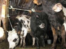 Телята якутской породы в стойле