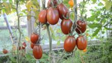 Плоды томата Черный мавр