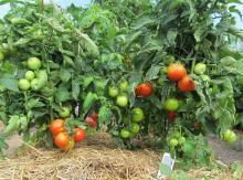 помидор Яблонька России