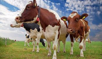 сухостойный период у коров