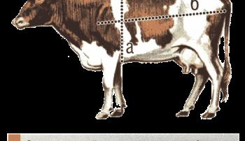Определение массы коровы