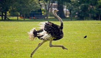 Бегущий страус