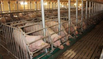 Свиньи в кормушке