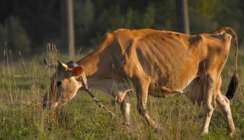 Корова, больная лейкозом