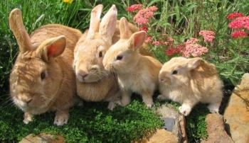 Причины поедания крольчихой своего потомства