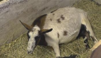 Парез у козы