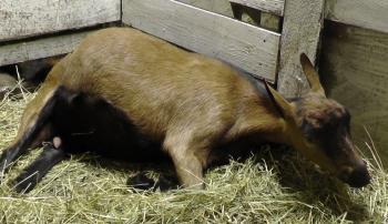 Коза, больная кетозом