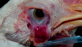 Проблемы с глазом у курицы