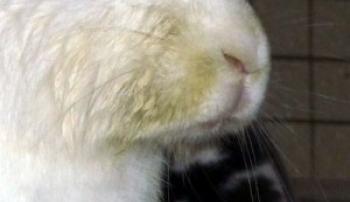 Признак стоматита у кролика