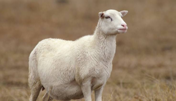 Беременная овца