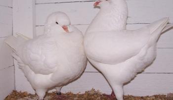 Мясные голуби