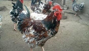 Курица ливенской породы