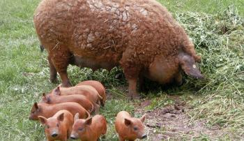Выход мясной продукции у свиней в зависимости от живой массы