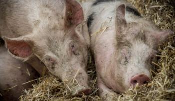 Свинья, больная АЧС