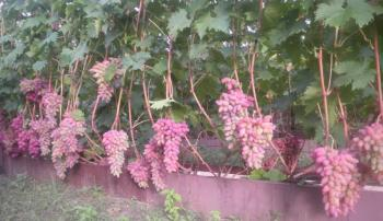 Грозди винограда Анюта