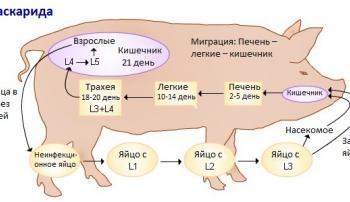 Какую опасность представляет аскаридоз для свиноводства