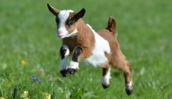 Какие корма нужны козлятам