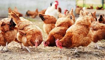 Курицы клюют корм