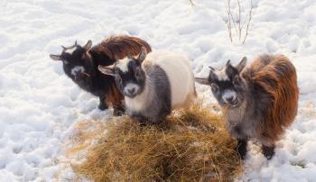 Содержание коз зимой без отопления