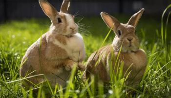 Оплодотворение кроликов искусственным методом