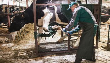 Зачем расчищать копыта коровам