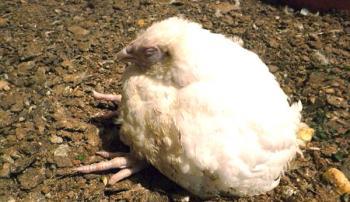 Понос у цыпленка