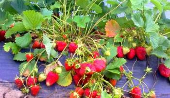 Плоды клубники Альбион