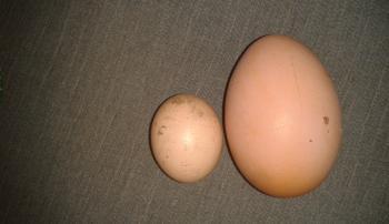 Почему у кур яичная продукция маленького размера