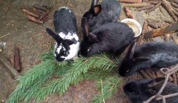 Ветки в рационе кроликов: что можно, а что нет