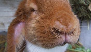 Больной ринитом кролик