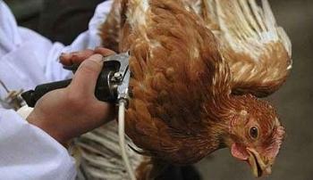 Вакцинация цыплят