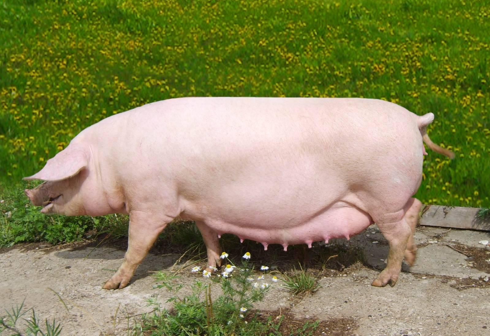 Идеальная свиноматка