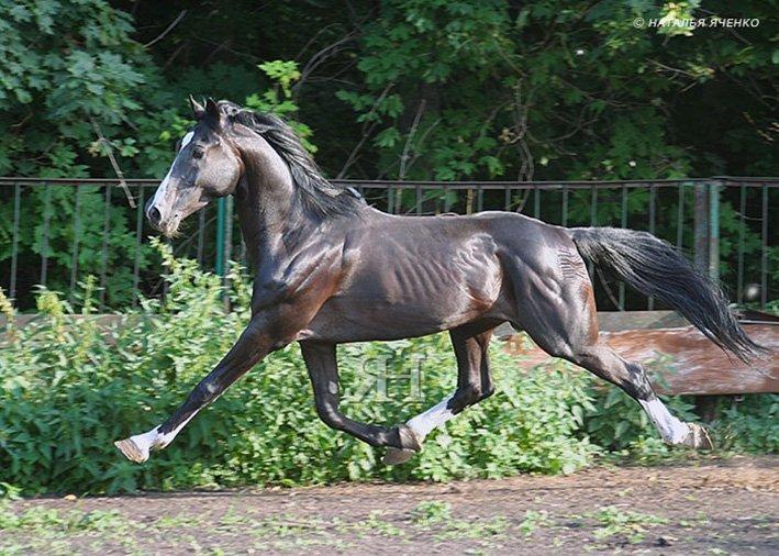 Рысь лошади