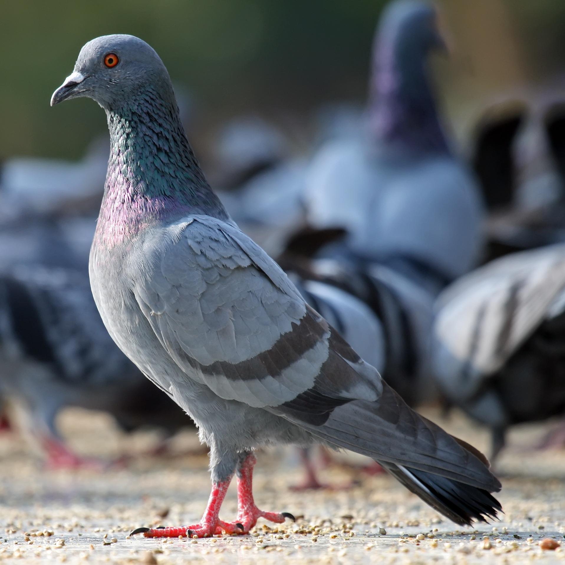 Больной вертячкой голубь
