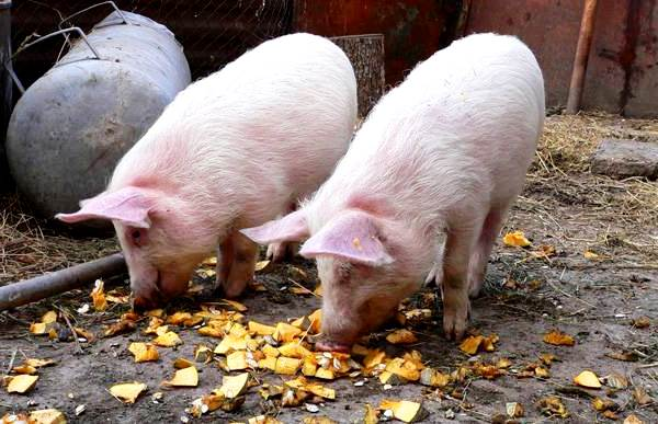 Кастрация свиней